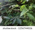 the plant  flower also fruit of ... | Shutterstock . vector #1256744026
