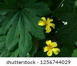 the plant  flower also fruit of ... | Shutterstock . vector #1256744029