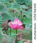 pink lotus flower in the nature | Shutterstock . vector #1256766100