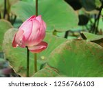 pink lotus flower in the nature | Shutterstock . vector #1256766103