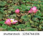 pink lotus flower in the nature | Shutterstock . vector #1256766106