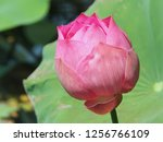 pink lotus flower in the nature | Shutterstock . vector #1256766109