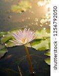 beautiful lotus blossoming in... | Shutterstock . vector #1256792050