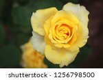closeup of beautiful yellow rose | Shutterstock . vector #1256798500