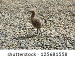 seagull chick standing on pebble | Shutterstock . vector #125681558