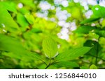 green leaves on bokeh... | Shutterstock . vector #1256844010