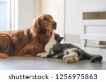 Stock photo golden hound and british short haired cat 1256975863
