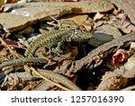 lizards in the mating season. | Shutterstock . vector #1257016390