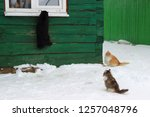 Stock photo black cat climbing the wall to the window for food two cats look at him three cats in the winter 1257048796