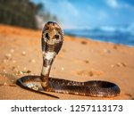 Live King Cobra On The Beach...