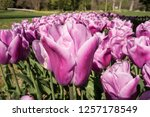 beautiful  tulips in the park.... | Shutterstock . vector #1257178549