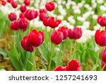 colorful tulips in the flower... | Shutterstock . vector #1257241693