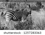 saw this zebra whilst on a... | Shutterstock . vector #1257283363