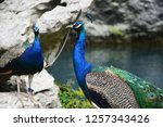 beautiful peacocks with... | Shutterstock . vector #1257343426