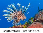 Common lionfish  pterois...