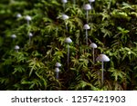 frosty bonnet mushrooms growing ... | Shutterstock . vector #1257421903