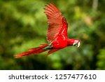 red parrot in flight. macaw... | Shutterstock . vector #1257477610