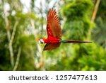red parrot in flight. macaw... | Shutterstock . vector #1257477613