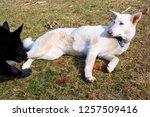 white german shepherd  guarding ... | Shutterstock . vector #1257509416