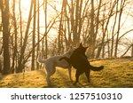 pair of german shepherds ... | Shutterstock . vector #1257510310