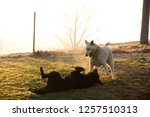 pair of german shepherds ... | Shutterstock . vector #1257510313