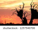 African Sunset. Dead Tree With...