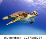 Stock photo young hawksbill turtle swimming along in nassau bahamas 1257608299