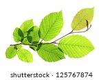 Branch Of A Hornbeam Tree ...