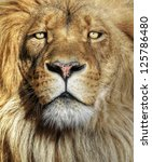 Stock photo closeup portrait of an african lion 125786480