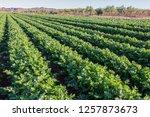 celery field  celery...   Shutterstock . vector #1257873673