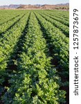 celery cultivation  celery...   Shutterstock . vector #1257873679
