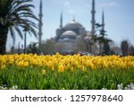 tulips from istanbul during... | Shutterstock . vector #1257978640