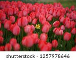tulips from istanbul | Shutterstock . vector #1257978646