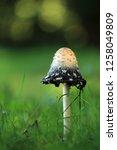 the shaggy ink cap | Shutterstock . vector #1258049809