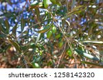detail of olive tree branch... | Shutterstock . vector #1258142320