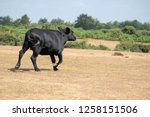 Female Black Cow Running...