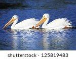 White Pelicans  Pelecanus...