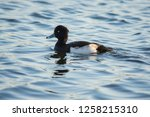 A Ring Necked Duck Sitting In...