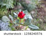 red rose bud in autumn garden.... | Shutterstock . vector #1258240576