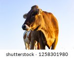 allgau cows at sunset with blue ...   Shutterstock . vector #1258301980