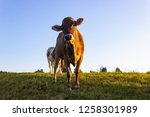 allgau cows at sunset with blue ...   Shutterstock . vector #1258301989