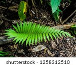 ferns  polypodiophyta  are a... | Shutterstock . vector #1258312510