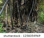 forest fire aftermath | Shutterstock . vector #1258354969