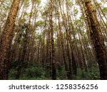 pine forest early autumn... | Shutterstock . vector #1258356256