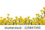 Stock photo yellow buttercup flowers isolated on white background 125847350