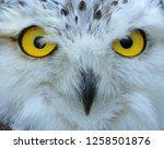 Snowy Owl Close Up.