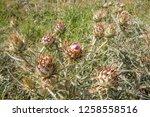 bud before flower of big... | Shutterstock . vector #1258558516