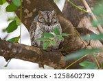 african scops owl  otus... | Shutterstock . vector #1258602739