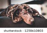 Female Dachshund Puppy Sleepin...