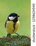 great tit  parus major  is a...   Shutterstock . vector #1258624540